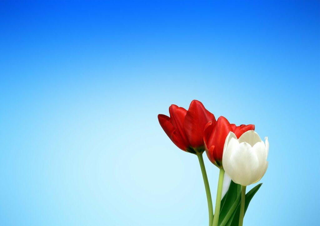 drie tulpen met achtergrond van blauwe lucht